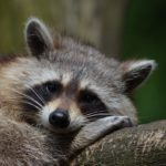 raccoon-365366_640